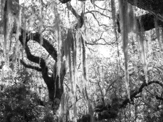 Trees in the Grove Black and White