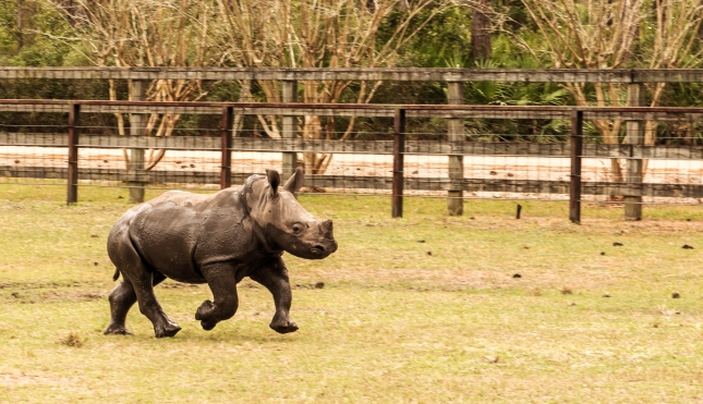 Run Babby Rhino Run