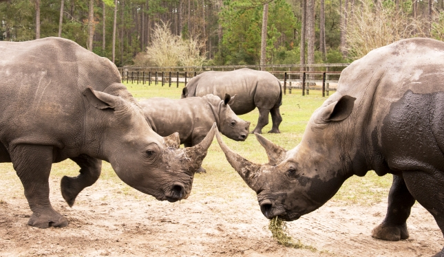 The Rhino Fight