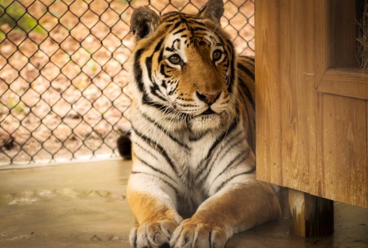 Tiger at White Oak