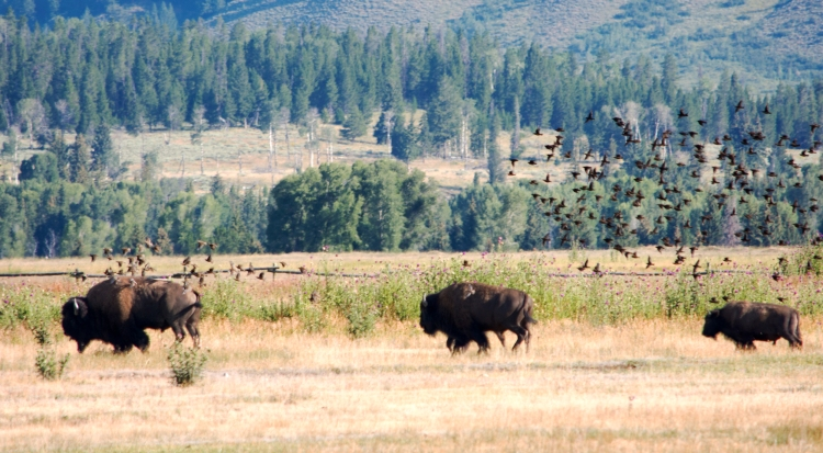 Bison with birds