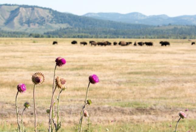 Thistle bison